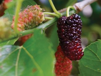 recipe-mulberry-jam